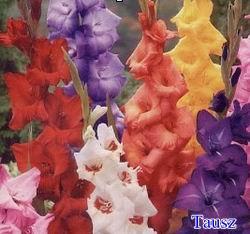 gladiolus50_1.jpg