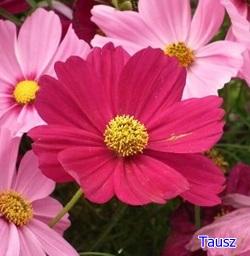 pillangovirag10.jpg