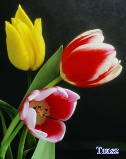 tulipan50.jpg