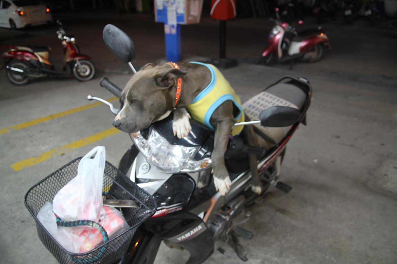 Thaiföldön mindenki motorral jár – akár kutyát 'sétáltatni' is. - (Fotó: The Epic Gust)