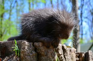 Cukiságbomba húsvétra: kissül született a Miskolci Állatkertben