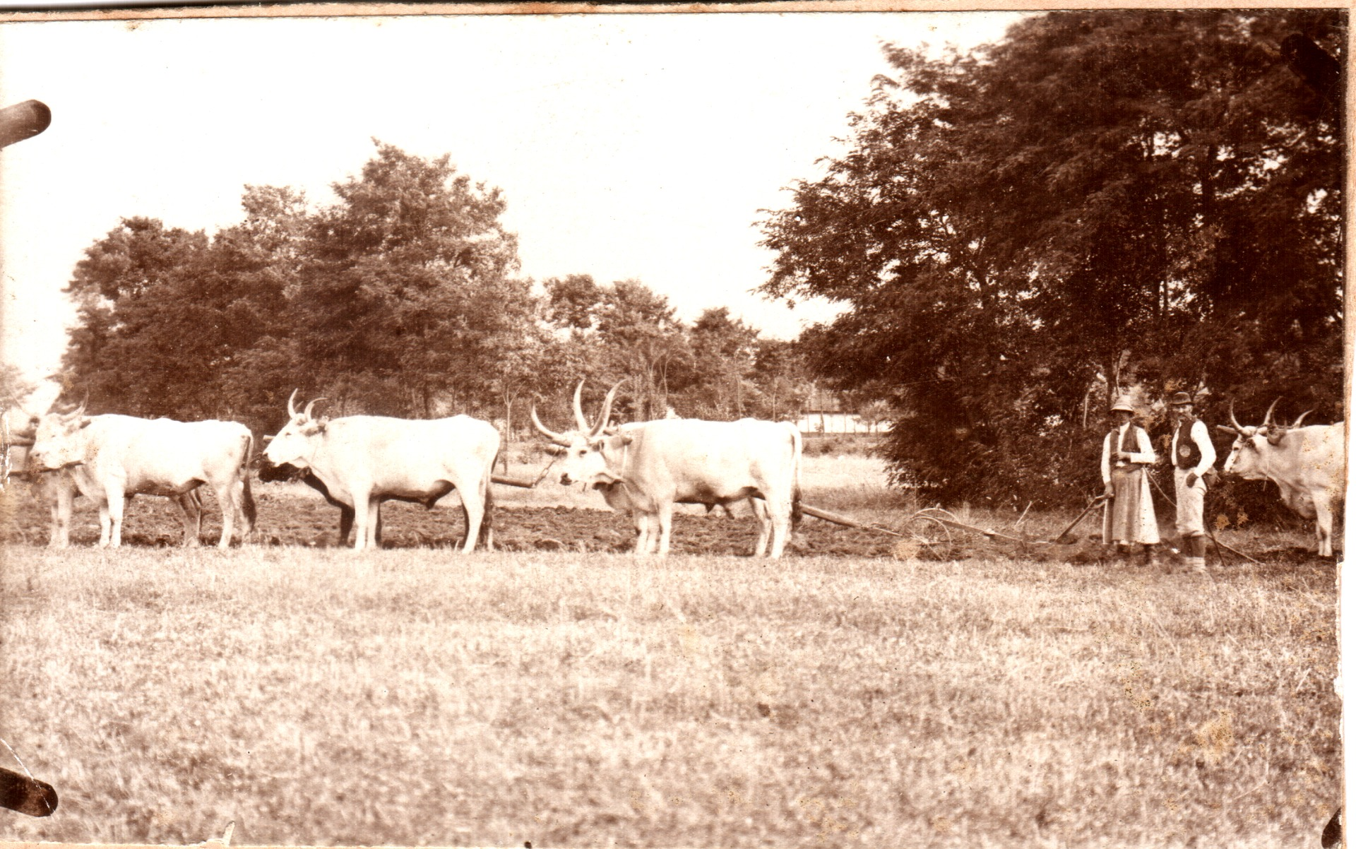 tilling_with_hungarian_grey_cattles_tif.jpg