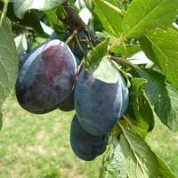 A magyarság gyümölcsészete: A szilva és más gyümölcsök