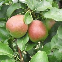 Kitekintés - gyümölcsészet Olaszországban
