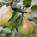 A magyarság gyümölcsészete: Az alma és a körte
