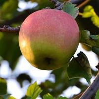 Szávai Márton és az énlakai gyümölcsös