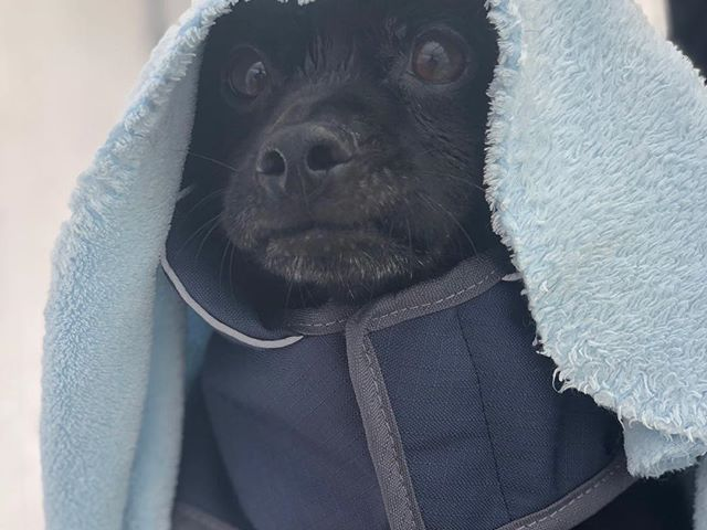 Beni the dark lord #canine #dog #ruffwear #hidrotherapyfordogs