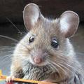Engedély nélkül dolgozó egereket talált a Nébih egy pékségben