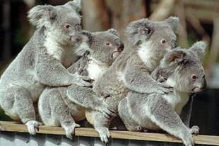 """""""Burnyák koalák nem kellenek"""" – tiltakozik a Jobbik"""