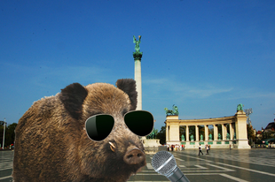 Exkluzív: villáminterjú az egyik budapesti vaddisznóval