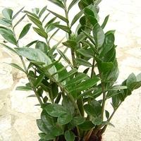 Napló: Zámia (Zamioculcas zamiifolia) szaporítása levéldugvánnyal