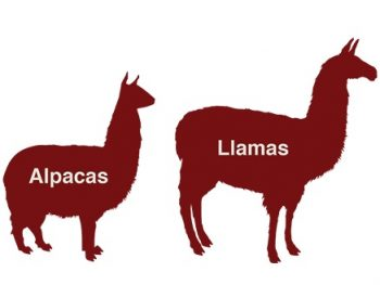alpaca-v-llama-350x263.jpg