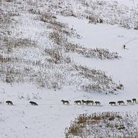 Nem a leggyengébb farkasok mennek elől ezen a képen