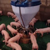 Megkezdődött a sertésprogram végrehajtása