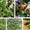 A csorbóka vagyis a gyermekláncfű levele a konyhámban salátának és egyebeknek