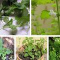 Citromfű azaz Melissa officinalis a konyhámban salátába teába édességekbe stb.