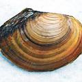 Fura lények a Balatonban: a kétkilós óriáskagyló