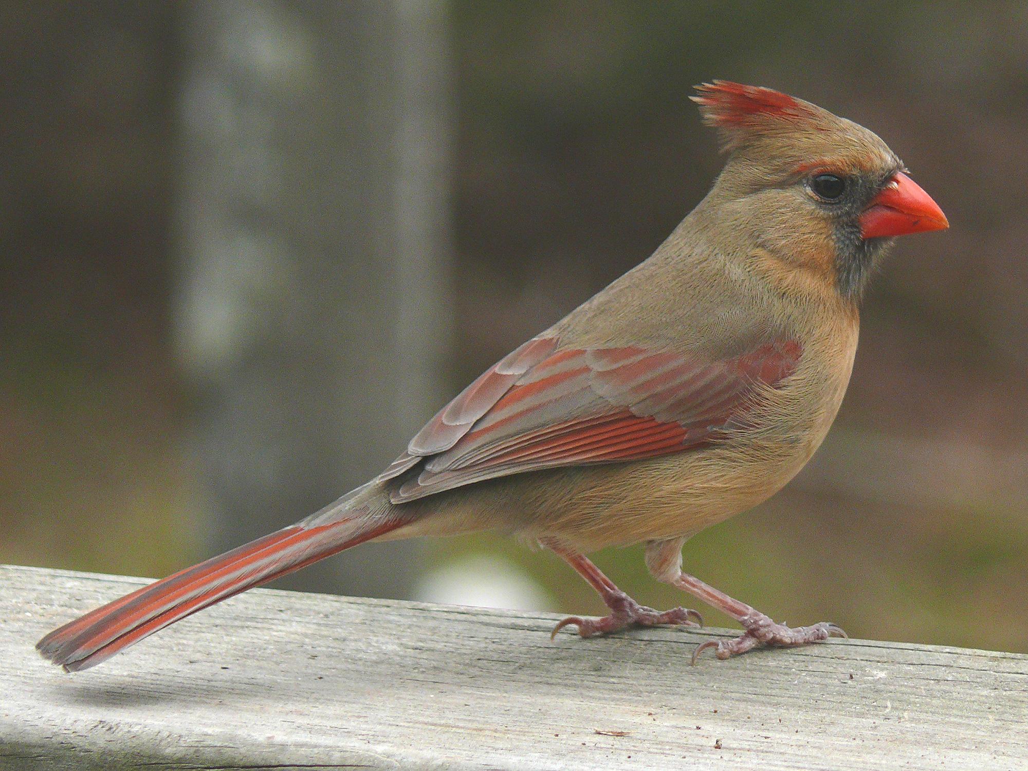 female_cardinale_1.jpg