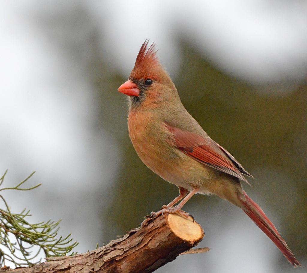 female_cardinale_2.jpg