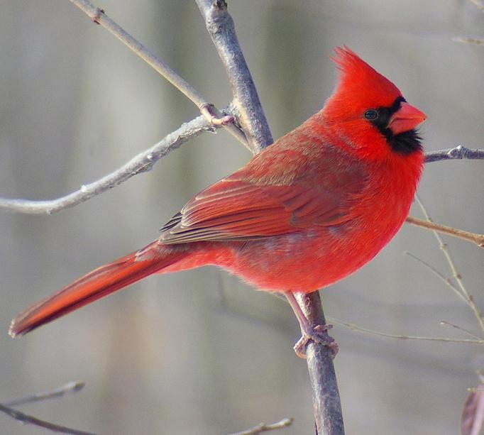 red_cardinal_2.jpg