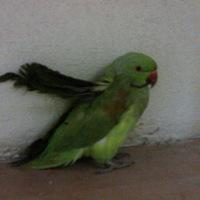 Hogyan lett papagájunk?