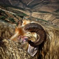 Wool and meat/Zagros mountain, Chahar Mahal province