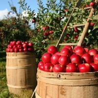 Izraeli tudósok szuperélelmiszert készítettek elhullott almákból