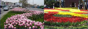 Tulipánfesztivál Isztambulban!