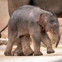 Elefántot karácsonyra?