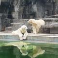 Leterítette a hőség a jegesmacikat