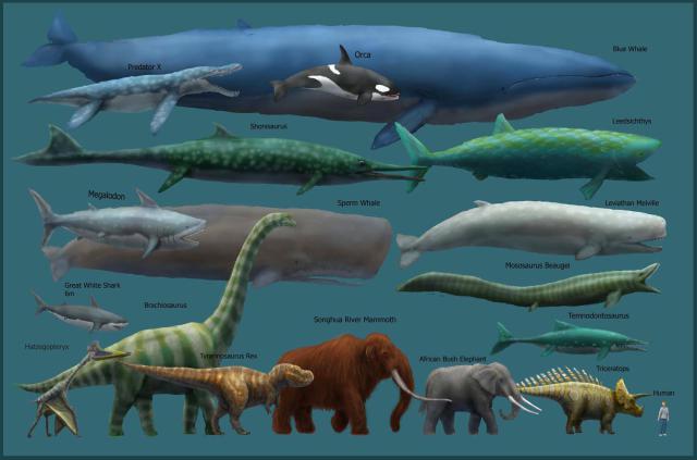 blue-whale-size-chart.jpg