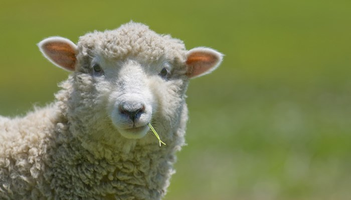 sheep-closeup-eating-grass.jpg