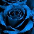 A kék rózsa