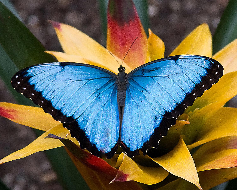 szep-kepek-kek-morpho-pillango-2.jpg