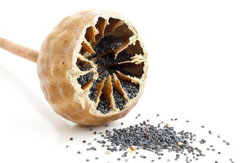 bigstock-single-cut-open-poppy-seed-pod-98152181.jpg