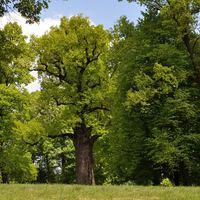 Lengyel tölgy az Európai Év Fája