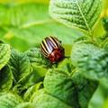Növényvédelem vegyszerek nélkül a kiskertekben