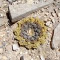 Kaktusz-kövek - a sivatagok nagy túlélőművészei