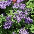 Illatos növényekkel a szúnyogok ellen