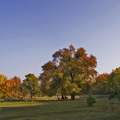Gödöllői vackorfa lehet az Év Fája Európában