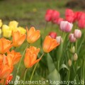 Tulipánok a Füvészkertben