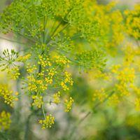 Finom fűszer, szép vágott virág – a kapor dicsérete