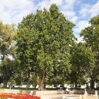 Legyen a szívednek kedves fa az Év Fája!