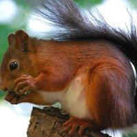 A mókus