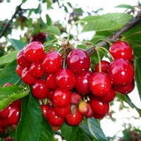 Kapaszkodnának a gyümölcsök, ha tudnának