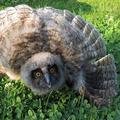 Érdekességek madarainkról: A baglyok