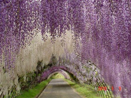 Wisteria-Tunnel-Kawachi-Fuji-Garden_4.jpg