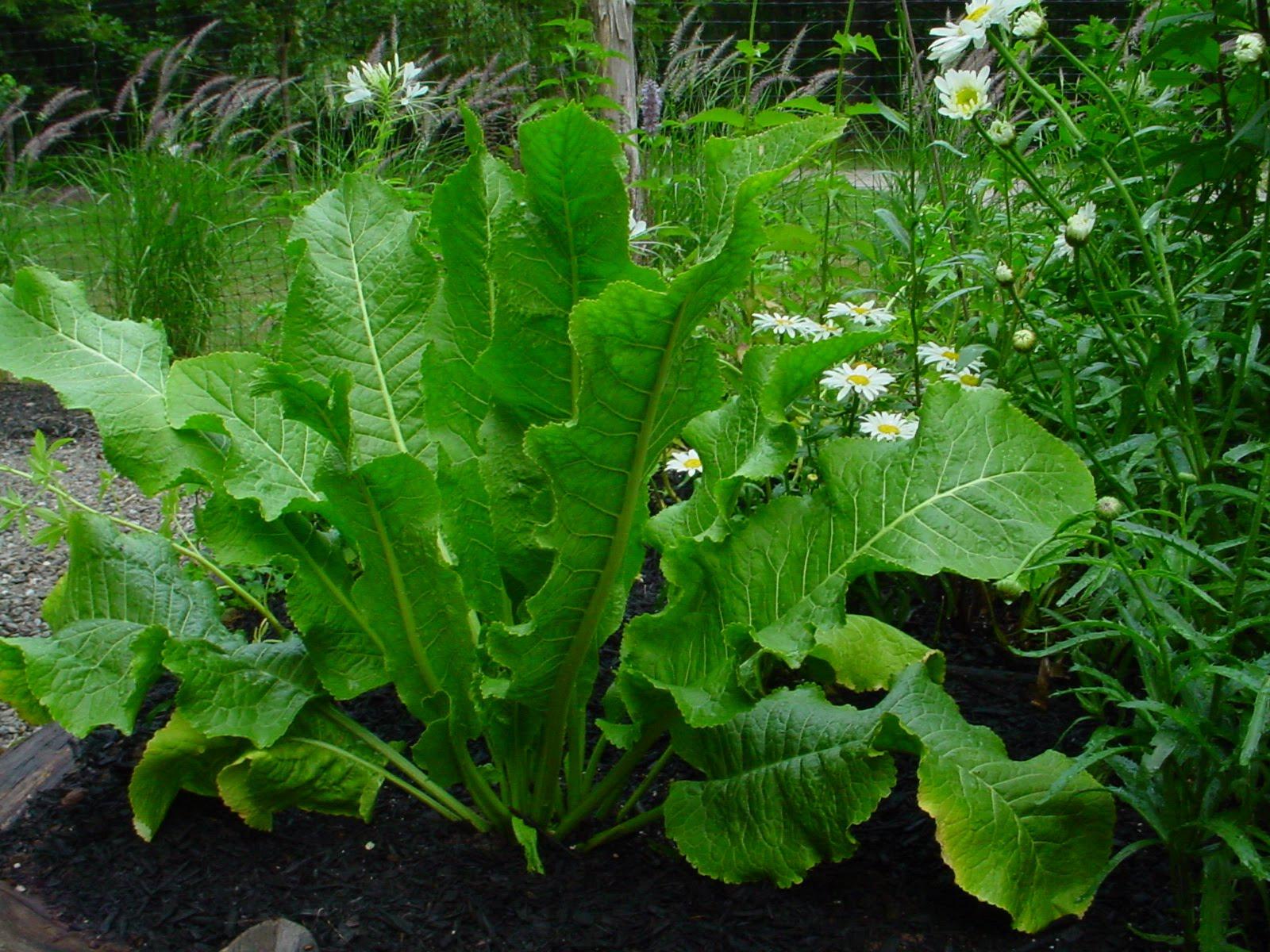 horseradish-amoracia-rusticana.jpg