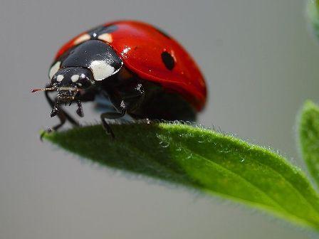 800px-Ladybird.jpg