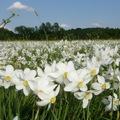 Virágzik a Nárciszok völgye